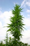 Cannabis-Derived Drug For MS Launched In The UK