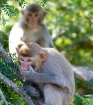 Disease Similar To MS Discovered In Monkeys