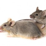MS Model Mice Regain Mobility After Stem Cell Treatment